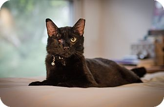 Domestic Shorthair Cat for adoption in St. Louis, Missouri - Mosha