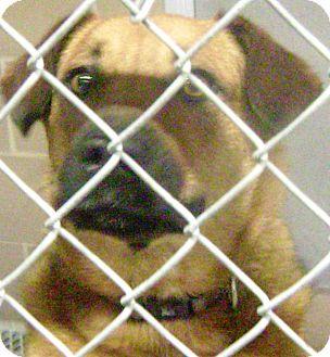 German Shepherd Dog/Labrador Retriever Mix Dog for adoption in Cibolo, Texas - Rusty