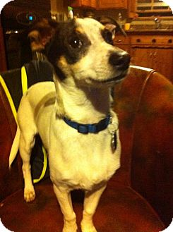 Rat Terrier Mix Puppy for adoption in Astoria, New York - Roger