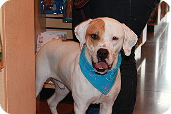 Boxer Mix Dog for adoption in Hainesville, Illinois - Apollo