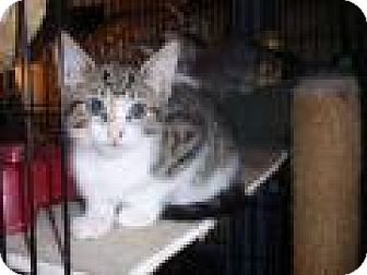 Domestic Shorthair Cat for adoption in East Brunswick, New Jersey - Mandee
