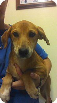 Golden Retriever/Labrador Retriever Mix Puppy for adoption in Oviedo, Florida - April