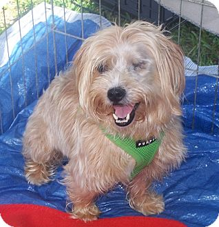 Yorkie, Yorkshire Terrier Dog for adoption in Concord, North Carolina - Gucci