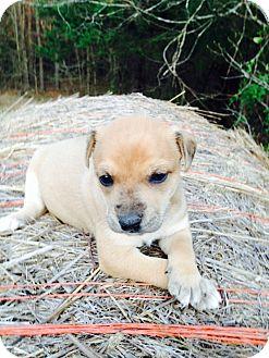 Labrador Retriever/Pointer Mix Puppy for adoption in West Point, Mississippi - Allie's puppies