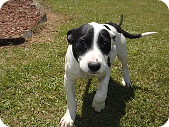 American Pit Bull Terrier/Hound (Unknown Type) Mix Puppy for adoption in Thomaston, Georgia - Wee-Wee