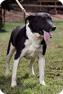 Labrador Retriever Mix Dog for adoption in Marion, North Carolina - Gus