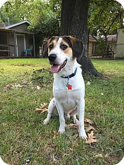 Beagle/Hound (Unknown Type) Mix Dog for adoption in Conroe, Texas - Beegs
