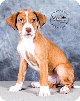 Boxer/German Shepherd Dog Mix Puppy for adoption in Cincinnati, Ohio - Libby