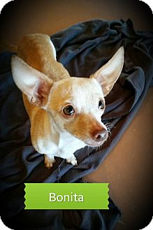 Chihuahua Dog for adoption in Weatherford, Texas - Bonita