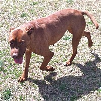 Adopt A Pet :: Amber (Courtesy Post) - Greenville, SC