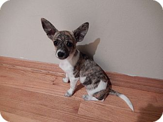 Chihuahua/Terrier (Unknown Type, Small) Mix Puppy for adoption in Studio City, California - Tucker