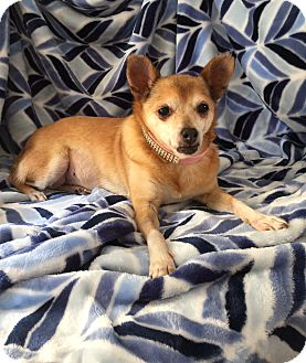 Chihuahua/Pomeranian Mix Dog for adoption in Los Angeles, California - Tory *Courtesy Listing*