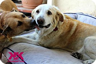 Labrador Retriever Dog for adoption in Beverly Hills, California - Mickey