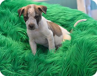 Shepherd (Unknown Type) Mix Puppy for adoption in Groton, Massachusetts - Pike