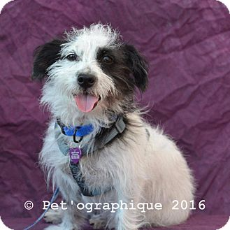 Terrier (Unknown Type, Small)/Lhasa Apso Mix Dog for adoption in Las Vegas, Nevada - Snoopy