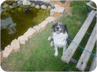 Australian Shepherd Mix Dog for adoption in Eaton, Indiana - Dylan