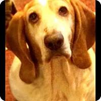 Adopt A Pet :: Sadie - Beautiful Basset Girl! - Quentin, PA