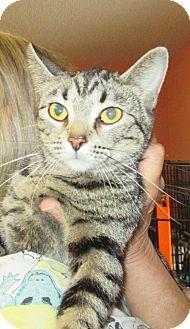 American Shorthair Cat for adoption in Reeds Spring, Missouri - Eva