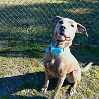 Adopt A Pet :: SANTA'S LITTLE HELPER - Gloucester, VA