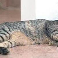 Domestic Shorthair Kitten for adoption in Miami, Florida - Bonnie