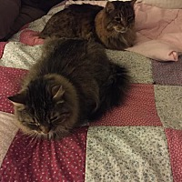 Maine Coon Cat for adoption in Absecon, New Jersey - Jake & Otis Courtesy Post