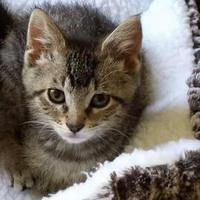 Adopt A Pet :: PeeWee - Elk Grove Village, IL