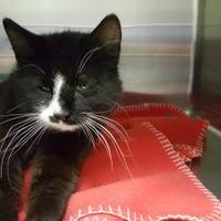 Domestic Shorthair/Domestic Shorthair Mix Cat for adoption in Cody, Wyoming - Crispix