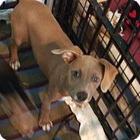 Adopt A Pet :: Pia - Apache Junction, AZ