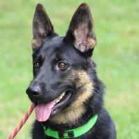 Adopt A Pet :: Springer - Ashland, VA