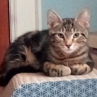 Adopt A Pet :: Preston - Milwaukee, WI
