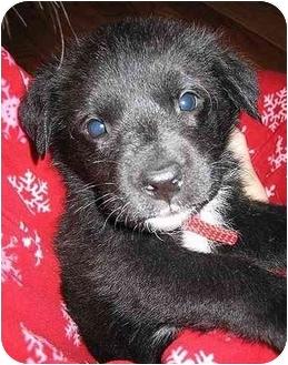 Labrador Retriever Mix Puppy for adoption in Evergreen, Colorado - Piggie