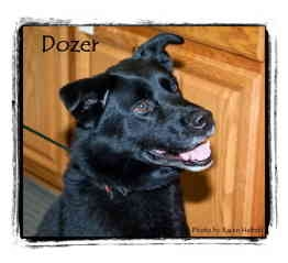Labrador Retriever Mix Dog for adoption in Warren, Pennsylvania - Dozer