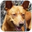 Photo 2 - Finnish Spitz Mix Dog for adoption in Vista, California - Rusty II