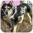 Photo 2 - Australian Cattle Dog Mix Puppy for adoption in Meadow Lake, Saskatchewan - Jess