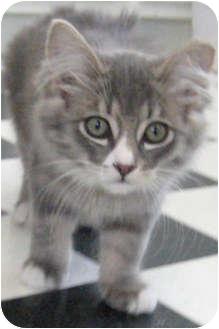 Domestic Longhair Kitten for adoption in Republic, Washington - Durango