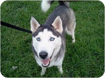 Husky Dog for adoption in Apple valley, California - Malina