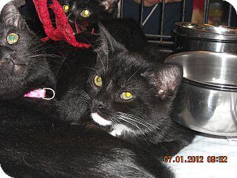 Domestic Shorthair Kitten for adoption in Riverside, Rhode Island - Simon