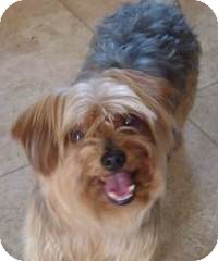 Yorkie, Yorkshire Terrier Mix Dog for adoption in San Diego, California - Max