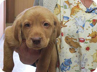 Labrador Retriever/Golden Retriever Mix Puppy for adoption in Spring Valley, New York - Figgy Puddin