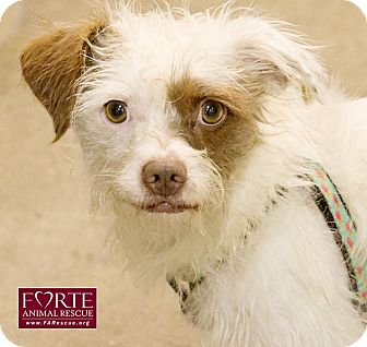 Border Terrier/Jack Russell Terrier Mix Dog for adoption in Marina del Rey, California - Henry II