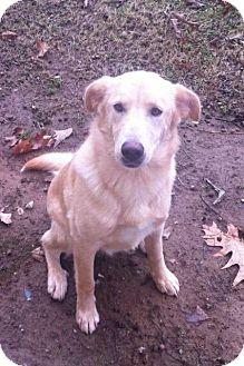 Labrador Retriever Mix Dog for adoption in Spring Valley, New York - Holly