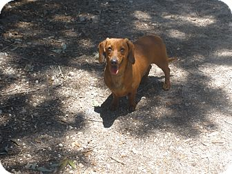 Dachshund Dog for adoption in Cantonment, Florida - Bucky