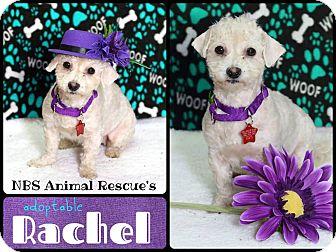 Bichon Frise/Poodle (Miniature) Mix Dog for adoption in Troy, Michigan - Rachel
