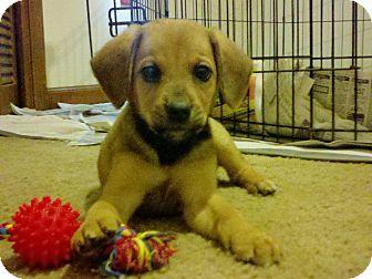 Redbone Coonhound/Shepherd (Unknown Type) Mix Puppy for adoption in Walker, Louisiana - Becca Sue