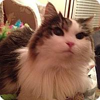 Adopt A Pet :: Satin - East Hanover, NJ