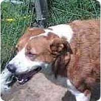 Adopt A Pet :: Chloe - St/Lab Mix Spayed - Alliance, OH
