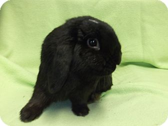 Lop-Eared for adoption in Oviedo, Florida - Charlie