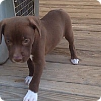 Adopt A Pet :: Shaw-adoption in progress - Marshfield, MA