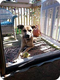 Boxer/Shepherd (Unknown Type) Mix Dog for adoption in Laingsburg, Michigan - Jake