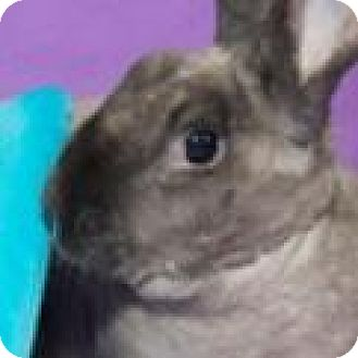 Mini Rex Mix for adoption in Warren, Michigan - Maverick